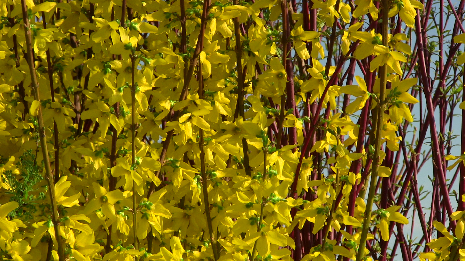 forsythia-show-off