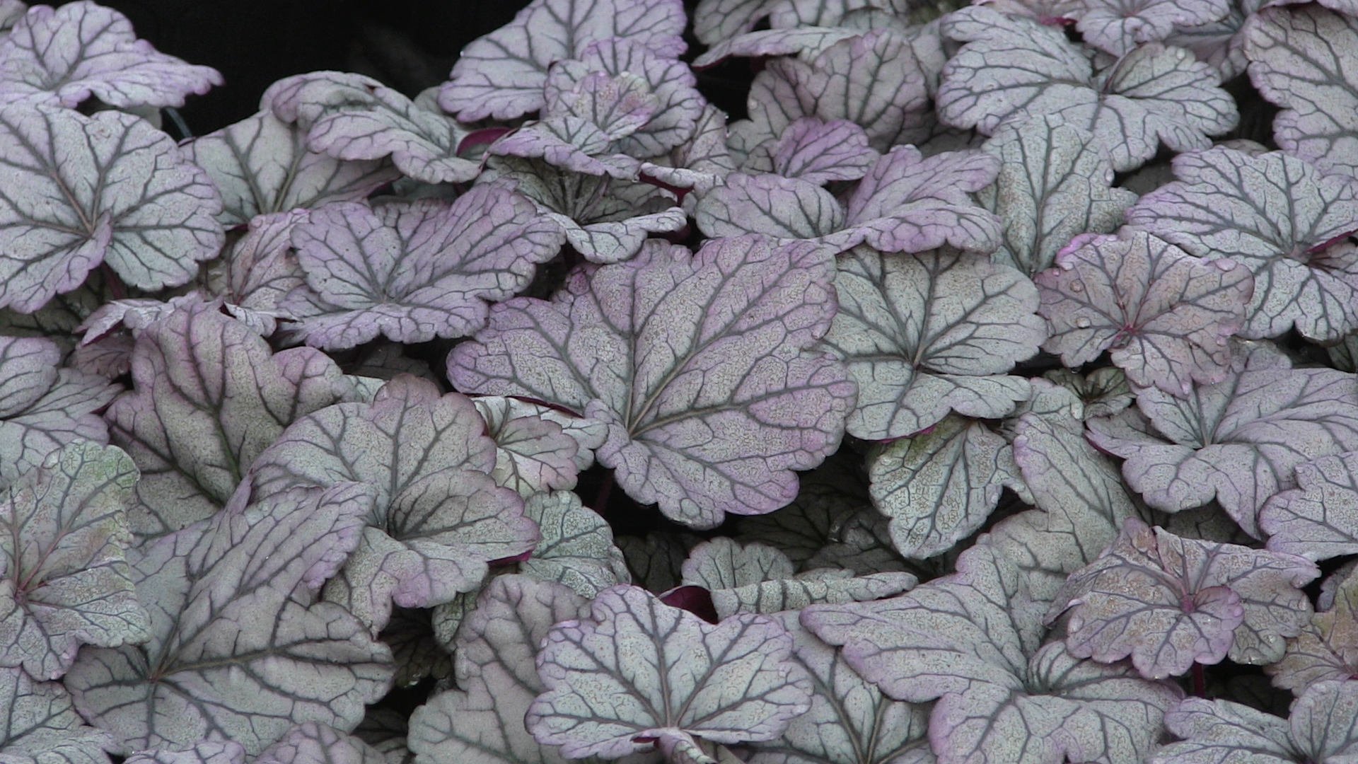 heuchera-sugar-plum