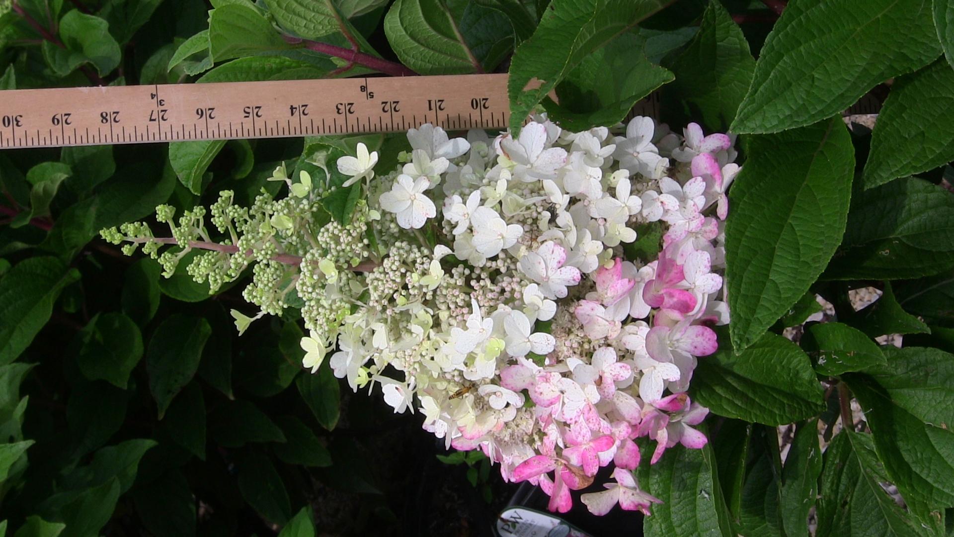 hydrangea-pinky-winky-flower