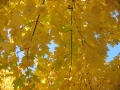 acer-marmo-leaves-10-30-08
