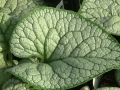 brunnera-sea-heart