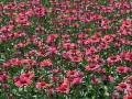 echinacea-sundown