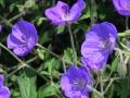 geranium-orion1