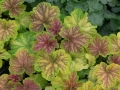 heuchera-delta-dawn