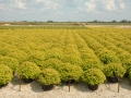 spiraea-goldmound-large-9-7-05