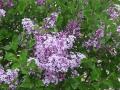 syringa-palibin-blooms