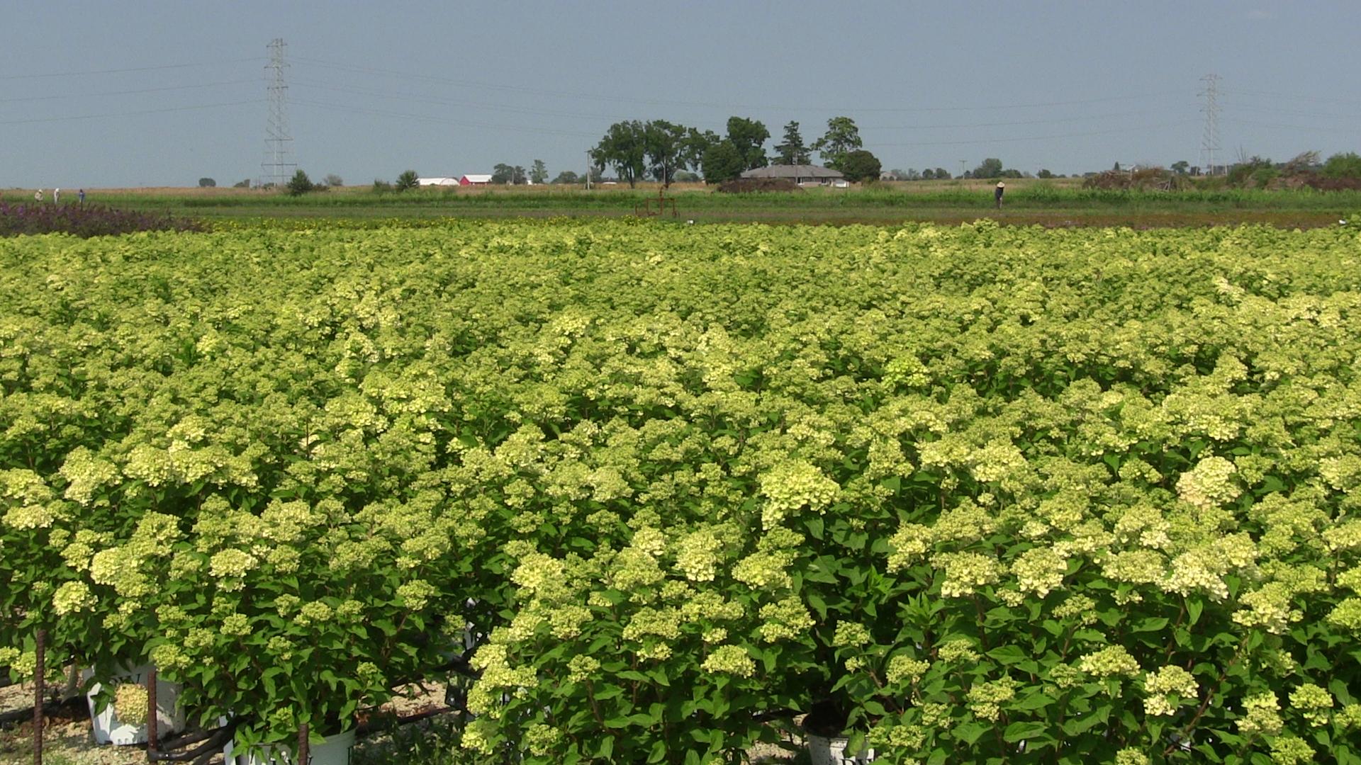 hydrangea-little-lime