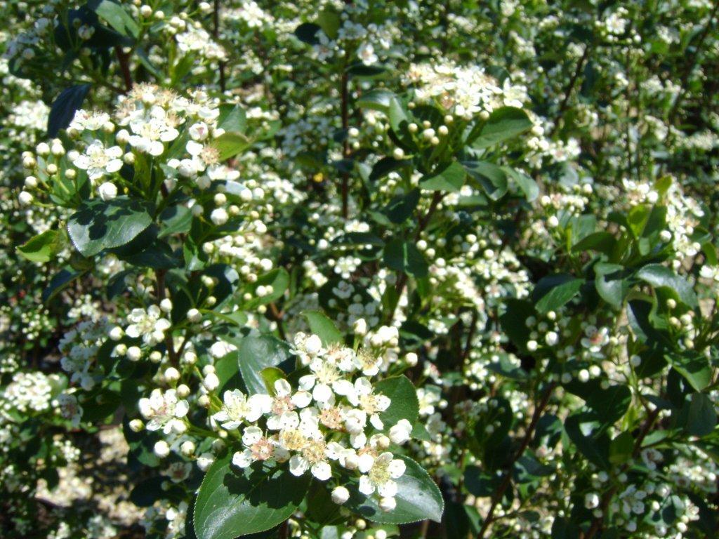 aronia-elata-flowers