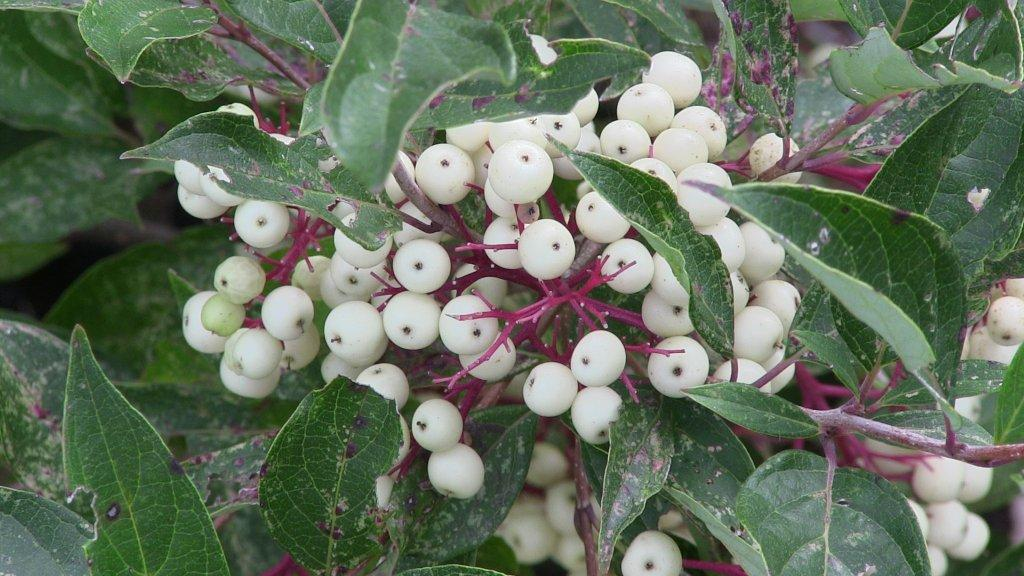 cornus-racemosa-berries