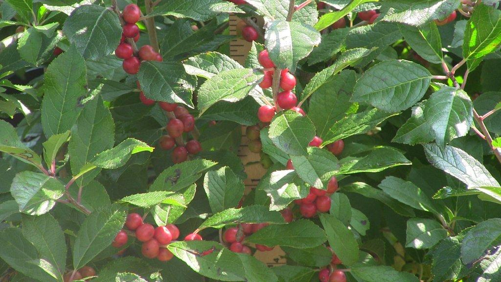 ilex-red-sprite-berries