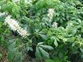 aesculus-parviflora