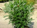 calycanthus-floridus