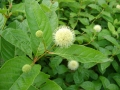 cephalanthus-button-bush