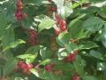 ilex-red-sprite-berries