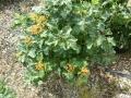 viburnum-opulus-compactum