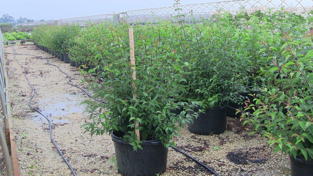 viburnum-prunifolium