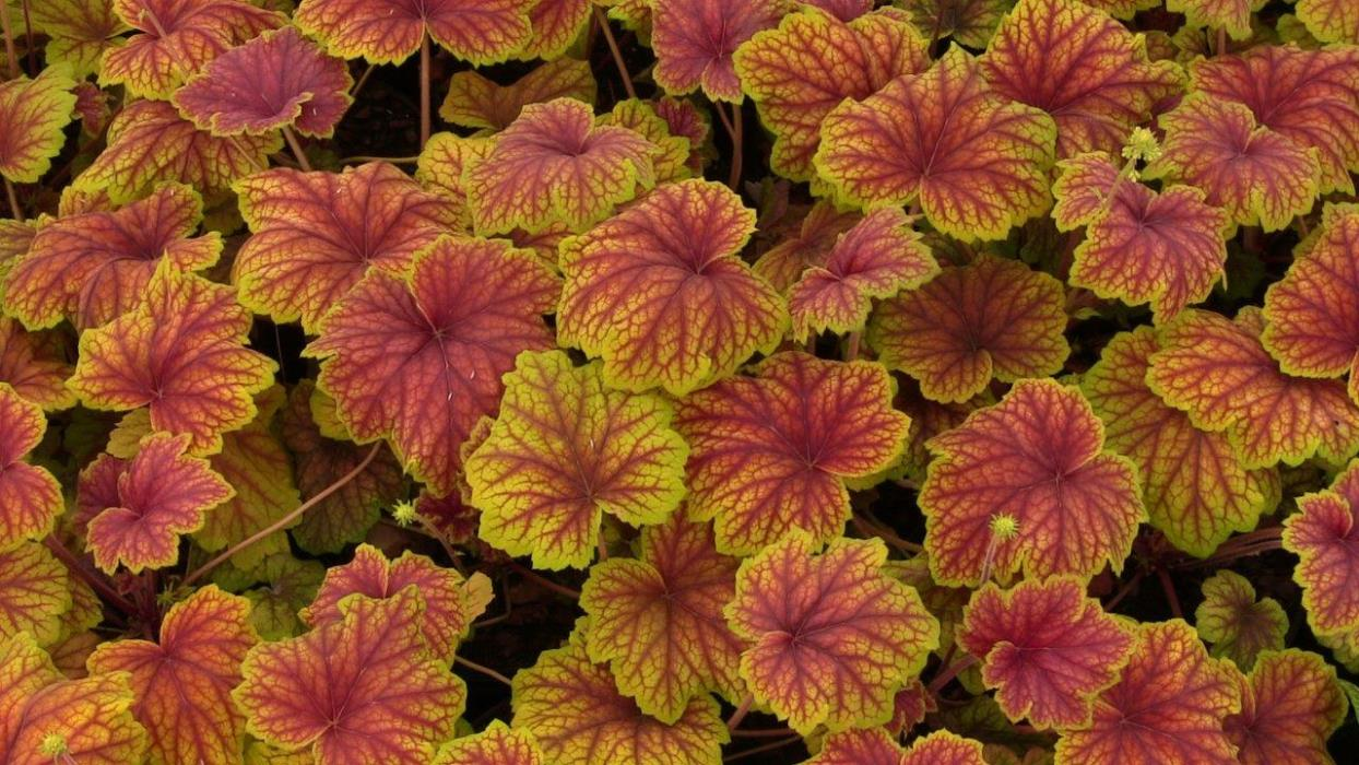 Heuchera Red Lightning 1